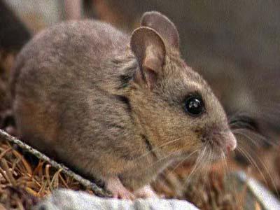 california_mouse